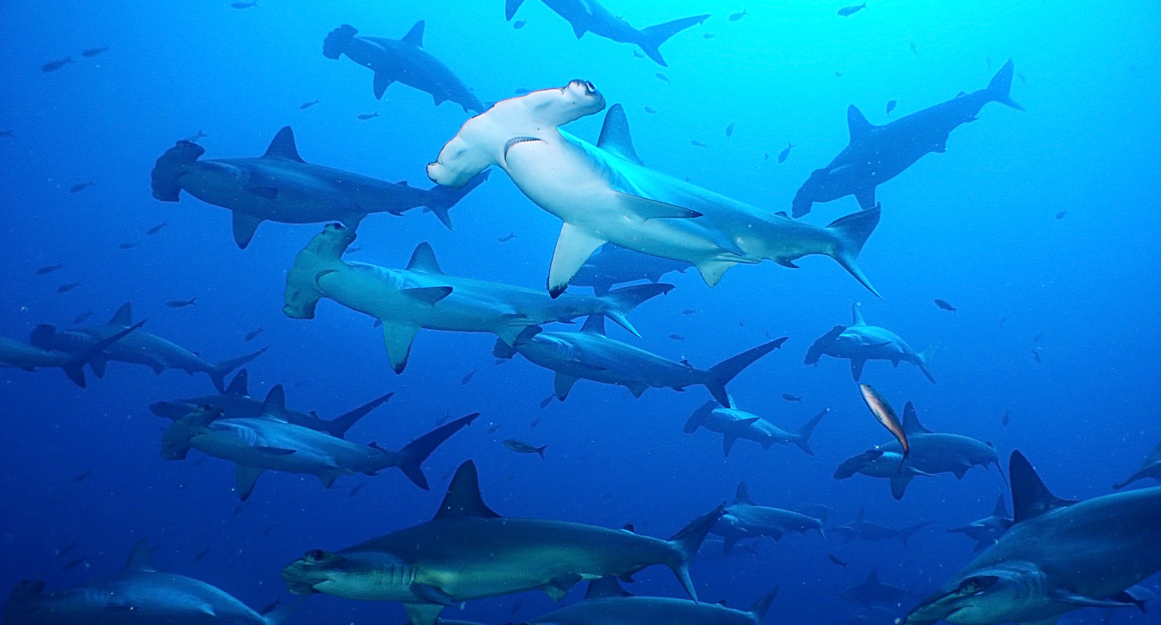 Scalloped Hammerhead Shark © GNP