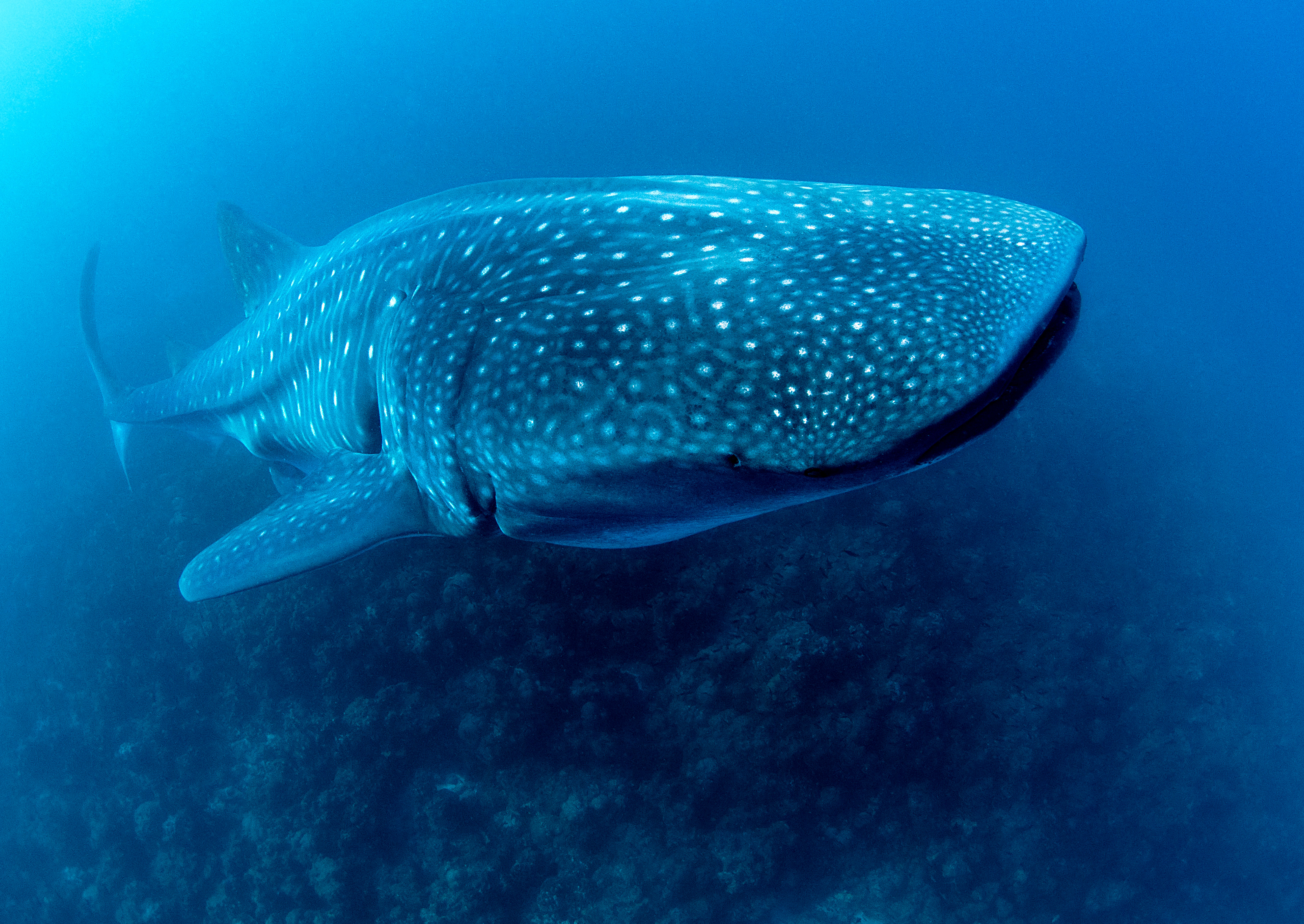 Whale shark, Copyright Jonathan Green