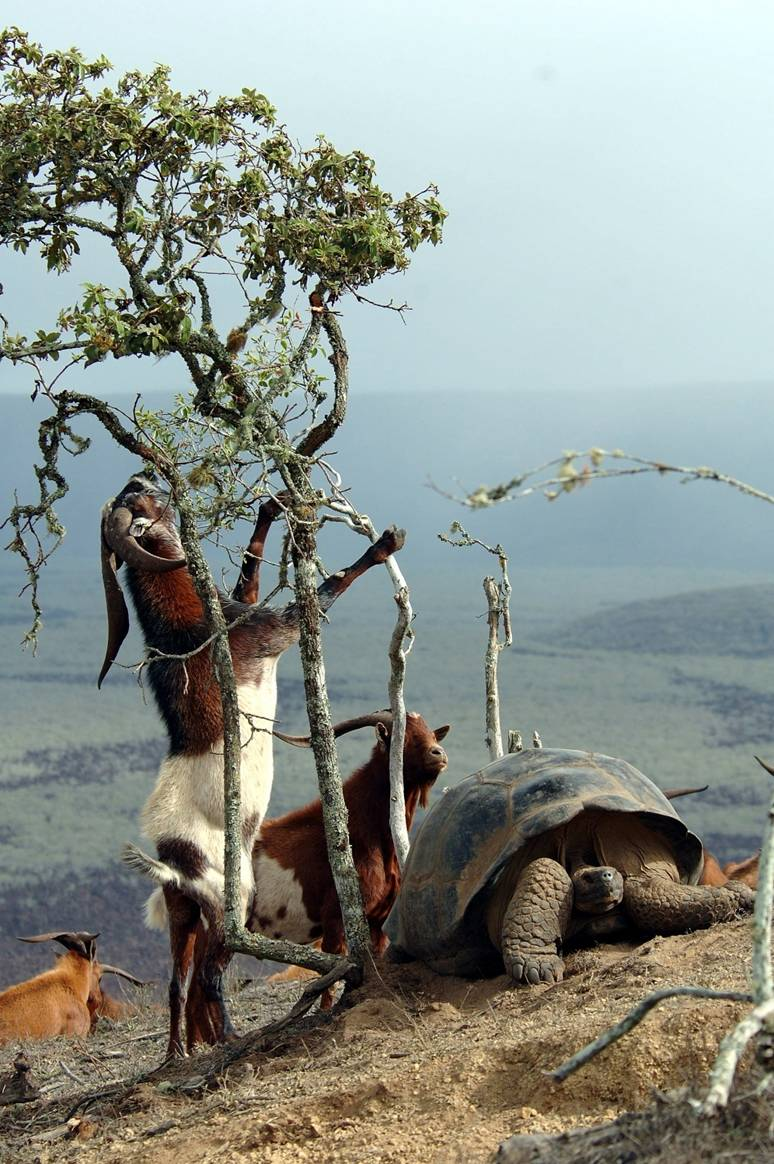Invasive species, goats in Galapagos