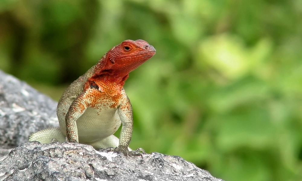 Wildlife, Lava Lizard © Neil Bruce