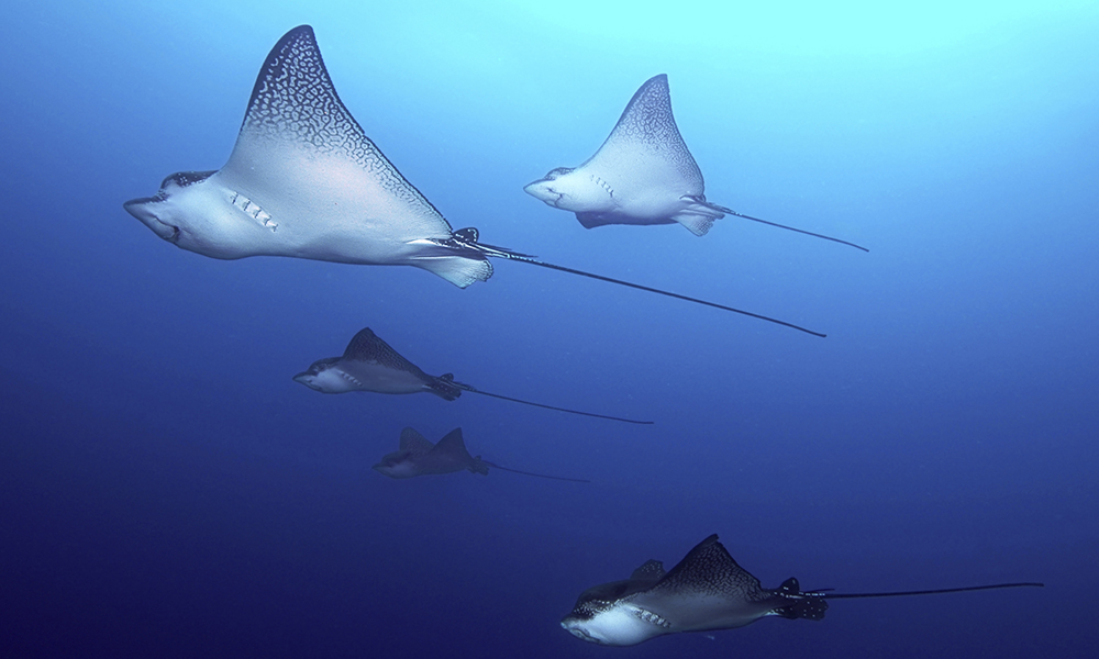Wildlife, Eagle Rays © Alan Purton