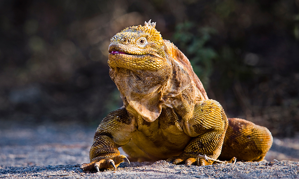 Wildlife, Land Iguana © Claude Lester