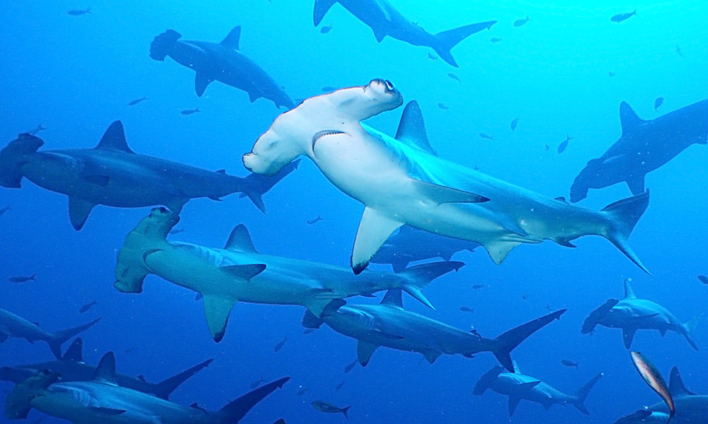 Wildlife, Scalloped Hammerhead © Galapagos National Park