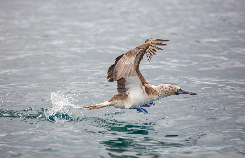 Competition, Blue-footed Booby ©Daniel Allen