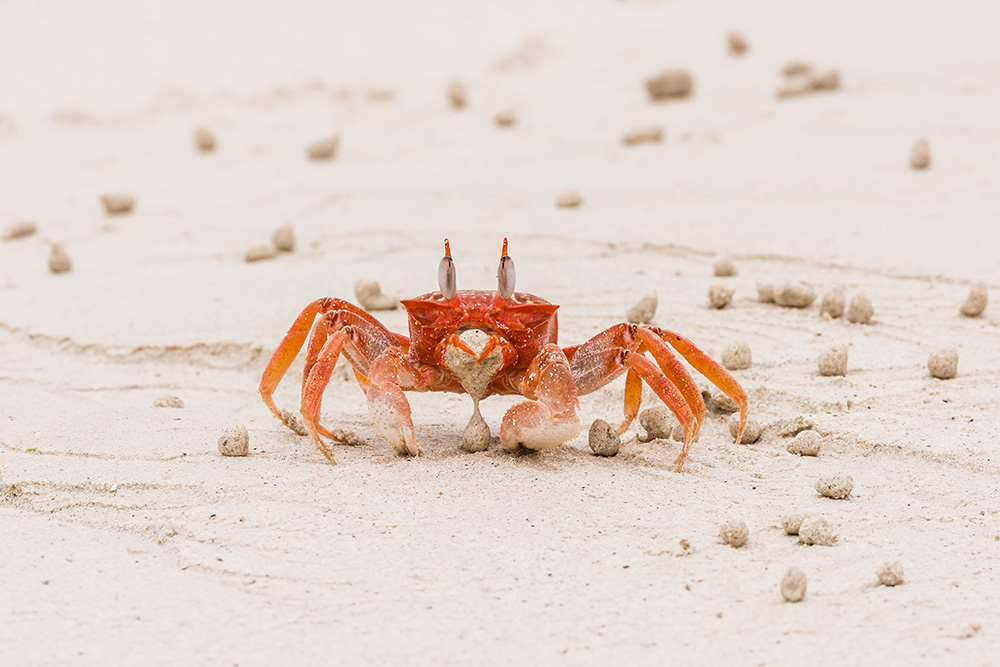 Wildlife, Ghost Crab ©David Maw
