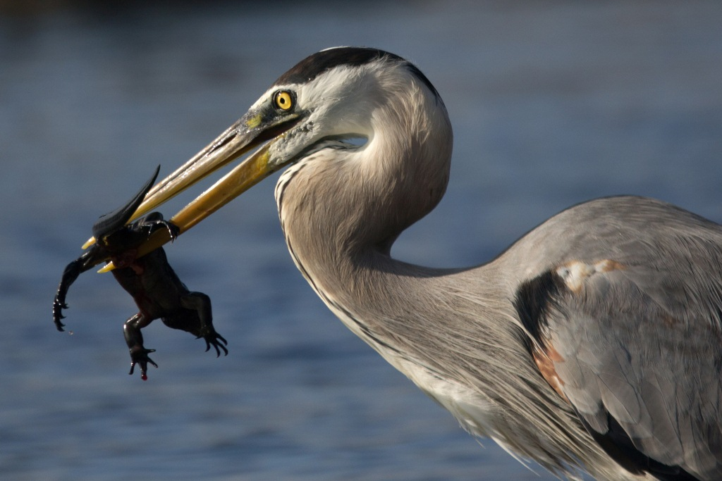 Competition, Great blue heron ©Nicole Andrews