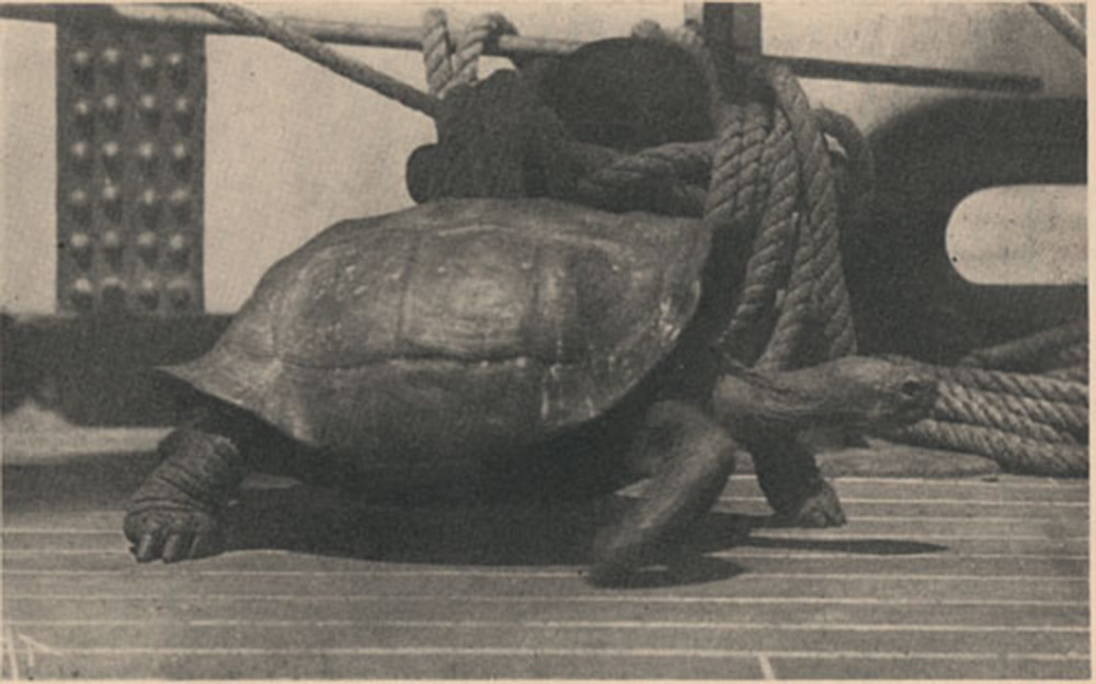 History, Galapagos Tortoise - Charles Townsend