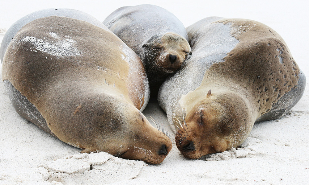 Wildlife, Galapagos Sea Lion ©Robert Silberman
