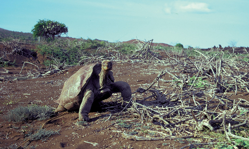 Wildlife, Lonesome George, Galapagos giant tortoises ©Ole Hammon