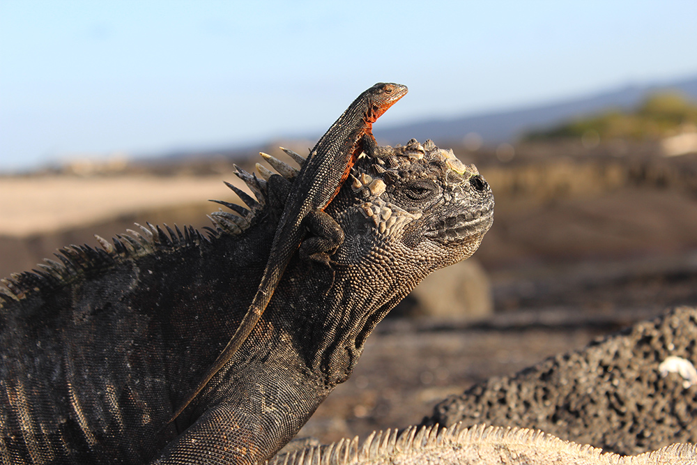 Wildlife, Marine Iguana and Lava Lizard ©Stuart Hill