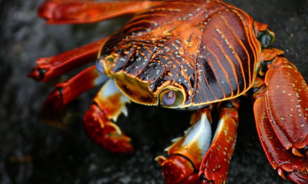 Wildlife, Sally Lightfoot Crab ©Vanessa Green