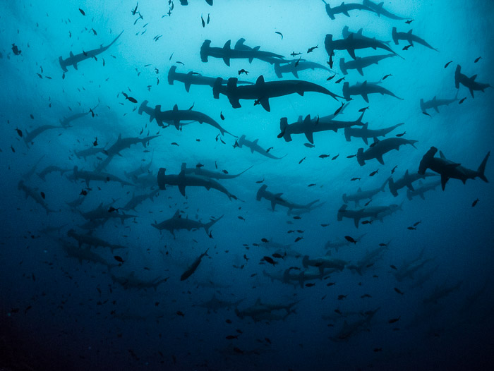 Blog, Hammerheads ©Simon Pierce