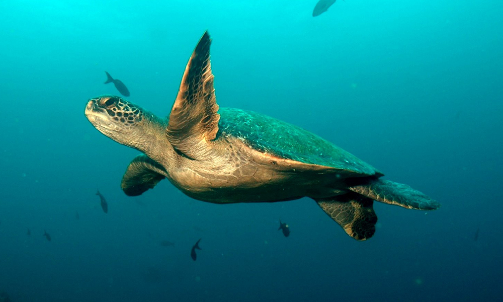 Wildlife, Green Turtle2 ©Alex Hearn