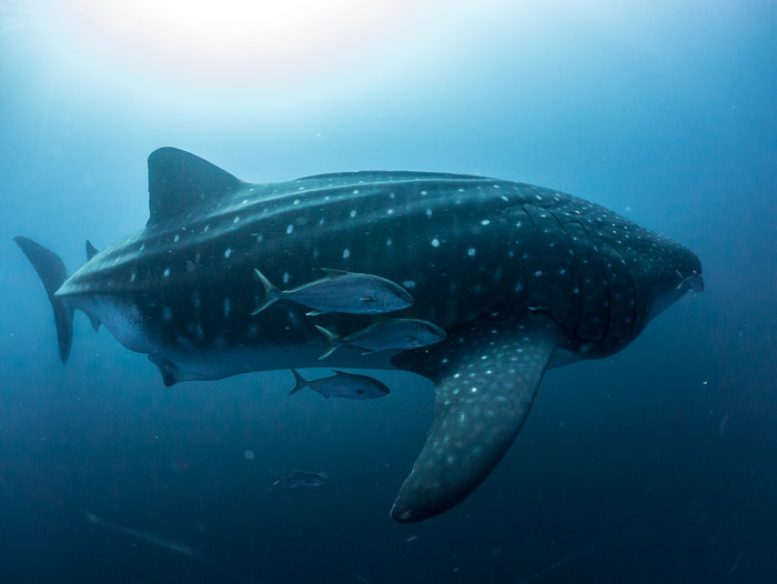 Blog, Whale Shark © Simon Pierce