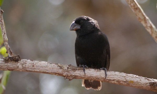 Galapagos Wildlife: Ground Finch © Robert Stebbings