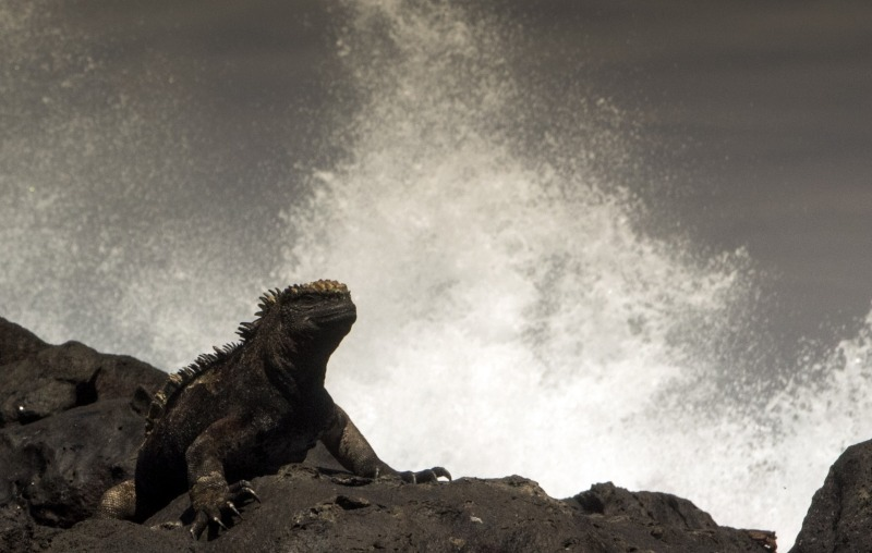 Galapagos Wildlife: Marine iguana © Amy MacLeod (amy-macleod.com)