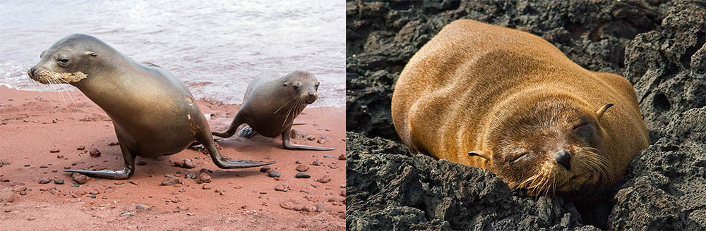 Left: Galapagos sea lions - Just Janza Right: Galapagos fur seal - Roger Bates