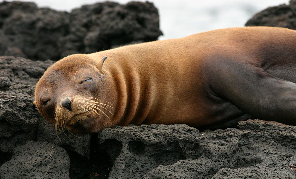 Galapagos fur seal - Vanessa Green