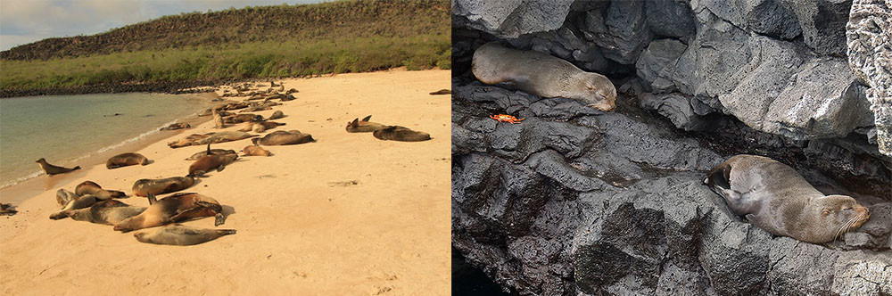 Left: sea lions on the beach - Fuller Right: fur seals on lava rocks