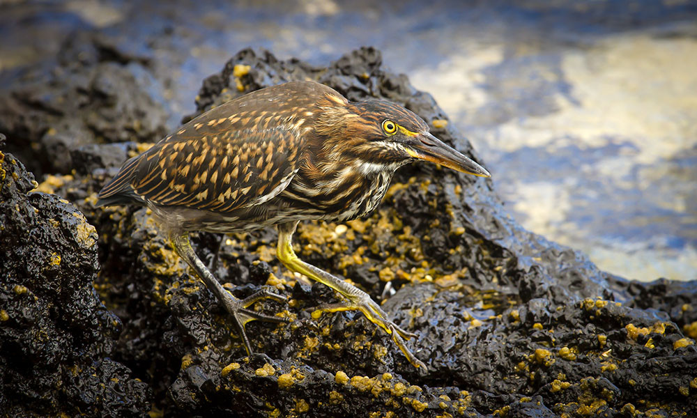 Wildlife, Juvenile Lava Heron © David Ireland