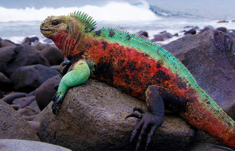 The Christmas Iguana - Galapagos Conservation Trust