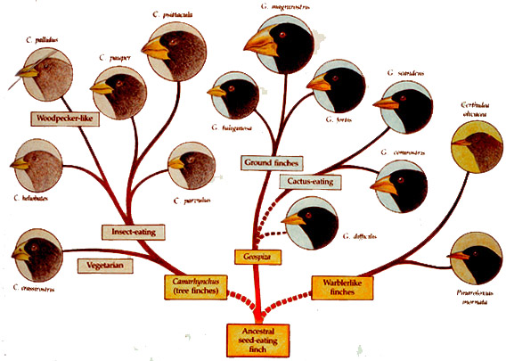 Tree of Darwin's finches