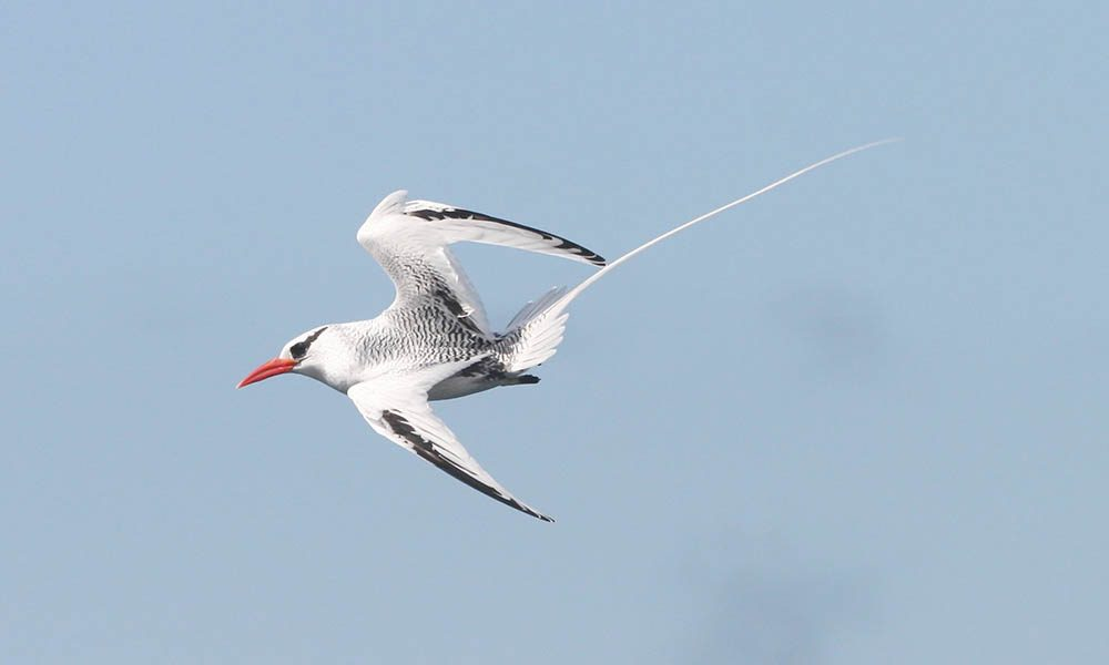 Wildlife, tropicbird © Bill Hale