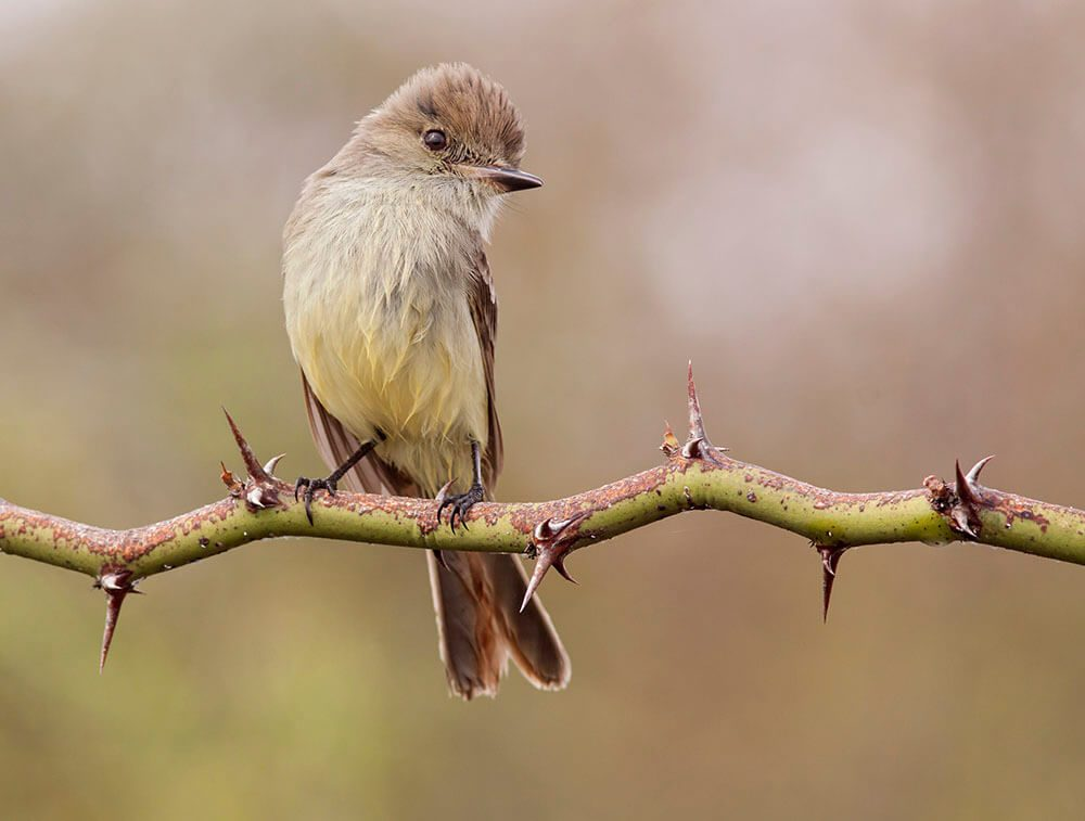 1st Place - Galapagos flycatcher by © Evangelina Indelicato