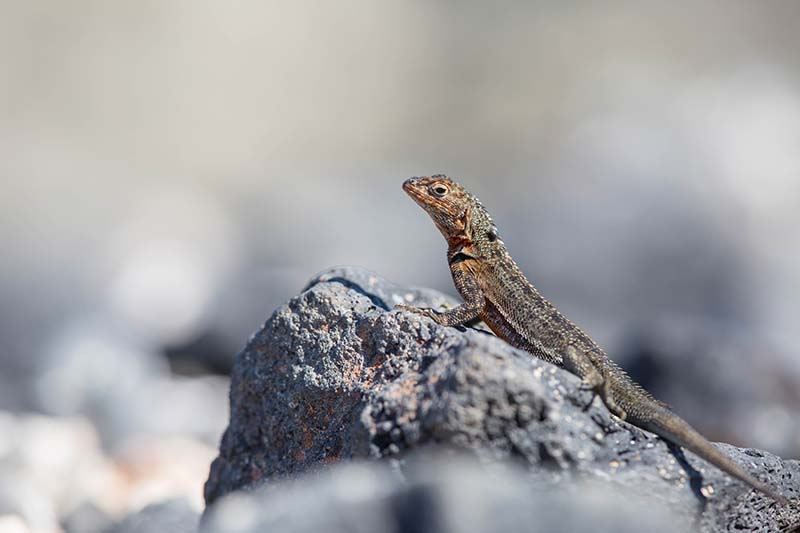 Lava lizard © Stephanie Foote