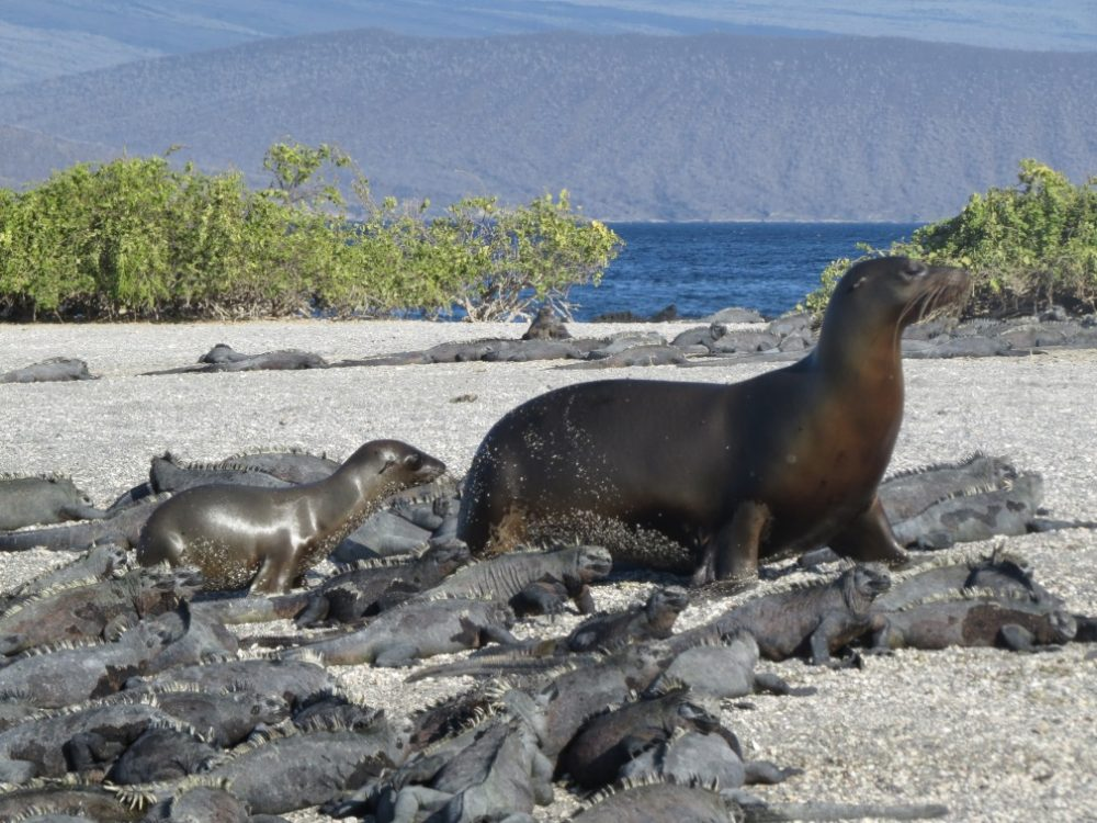 © Ian Dunn – Adult and juvenile sea lions amongst marine iguanas