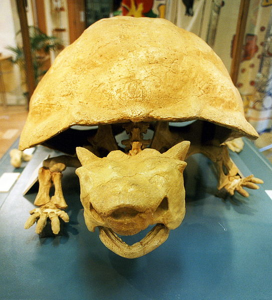 Horned turtle Meiolania platyceps (extinct). (c)David Morgan-Mar / GFDL and Creative Commons CC-BY 2.5