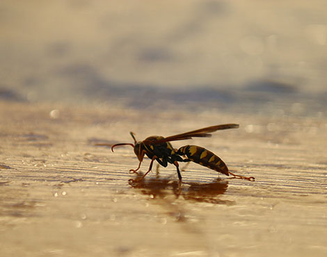 Conservation, Invasive wasp © Rick Barongi