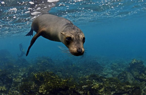 Galapagos sea lion - Jonathan Green