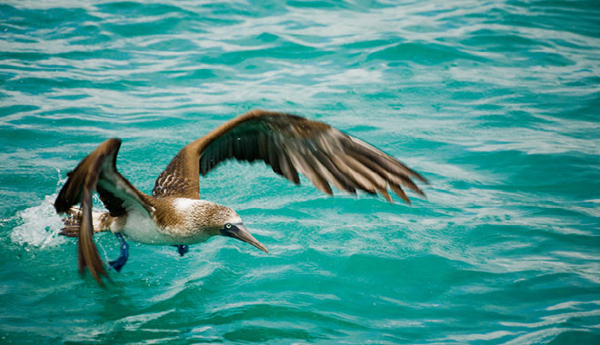 wildlife, booby flying