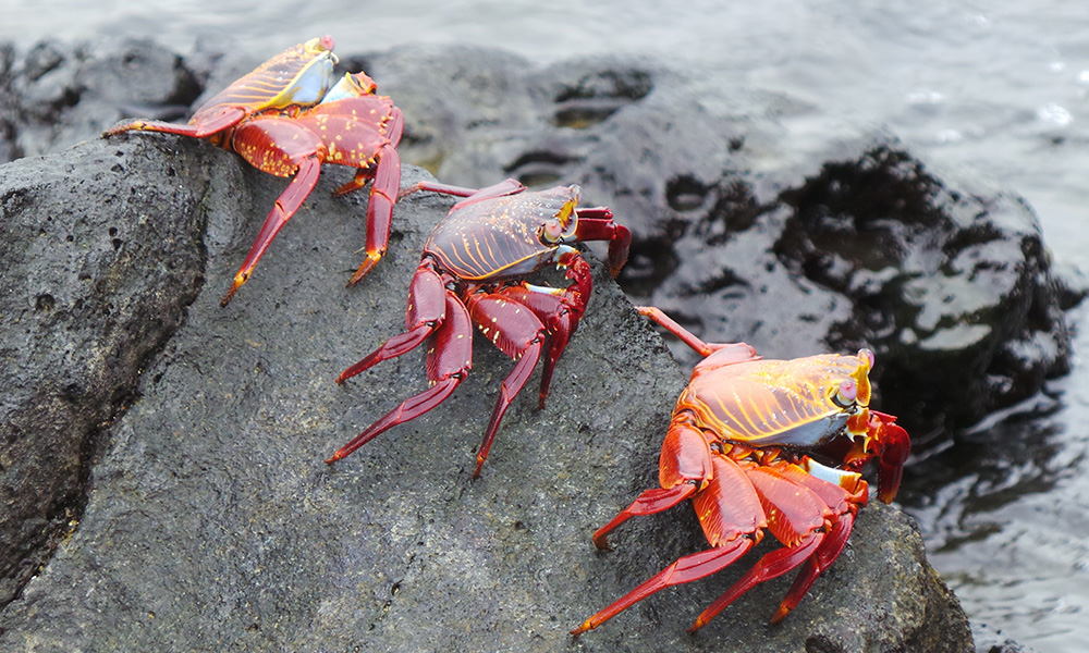 Wildlife, Sally Lightfoot Crabs © Ian Dunn, GCT