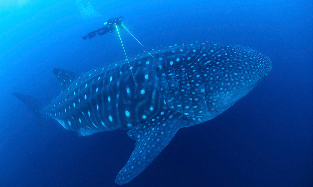 Projects, Measuring a Whale Shark © Jonathan Green