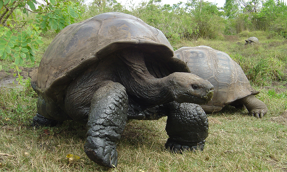 Wildlife, Giant Tortoise © Alex Hearn