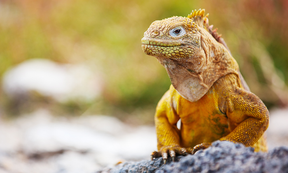Wildlife, Land Iguana