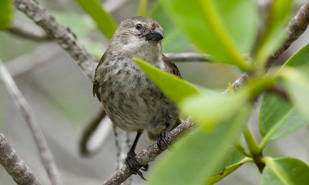 Wildlife, Mangrove Finch © Michael Dvorak