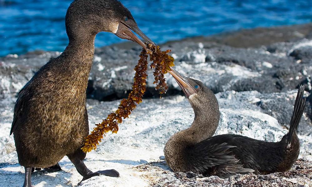 Wildlife, Flightless Cormorant, ©Gordon Chambers