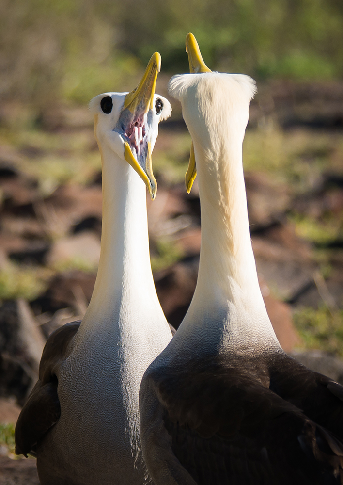 Competition, Waved Albatross ©Judi Miller
