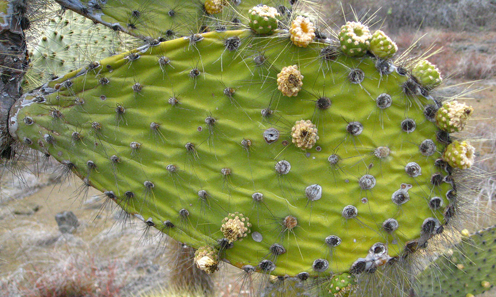 Wildlife, Opuntia ©Vanessa Green