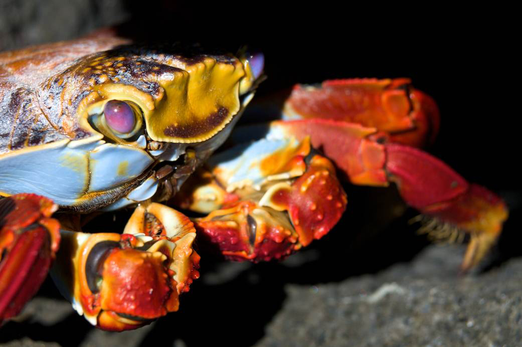 Wildlife, Sally Lightfoot Crab ©John Alexander