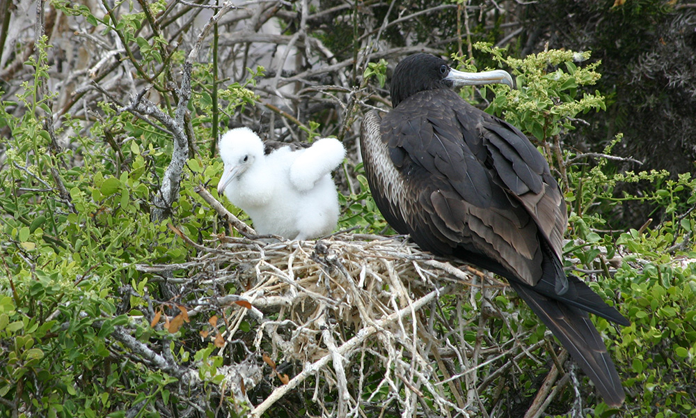 Wildlife, Magnificent Frigatebird with chick©Vanessa Green