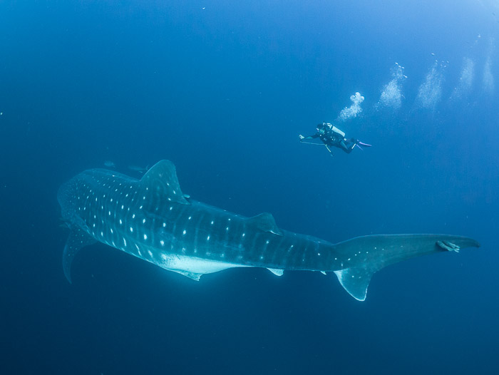 Whale shark scientist ©Simon Pierce