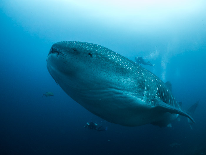 Blog, Whale shark ©Simon Pierce