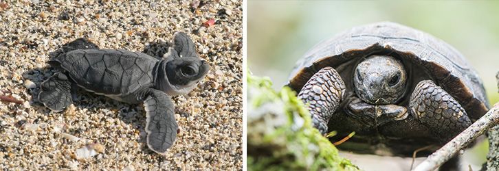 Appeal, turtle ©Bill Hale and tortoise © Sam Rowley hatchlings