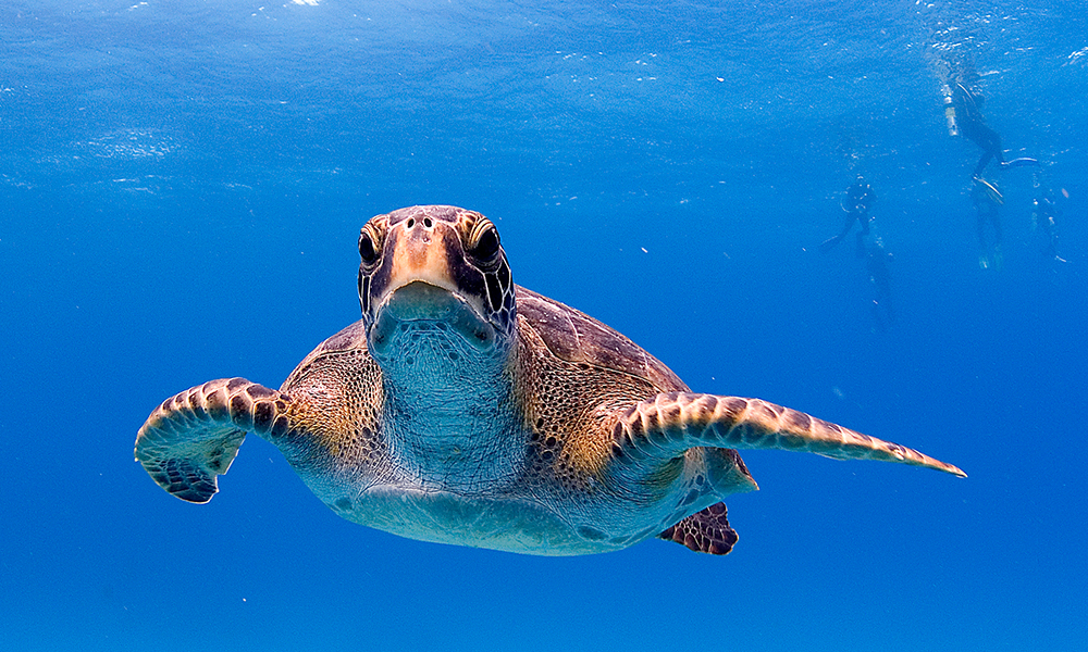 Wildlife, Green Turtle ©Derek Haslam