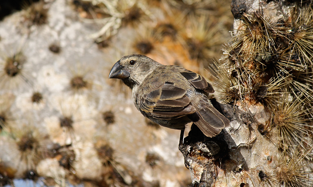 Medium ground finch © Sarah Knutie