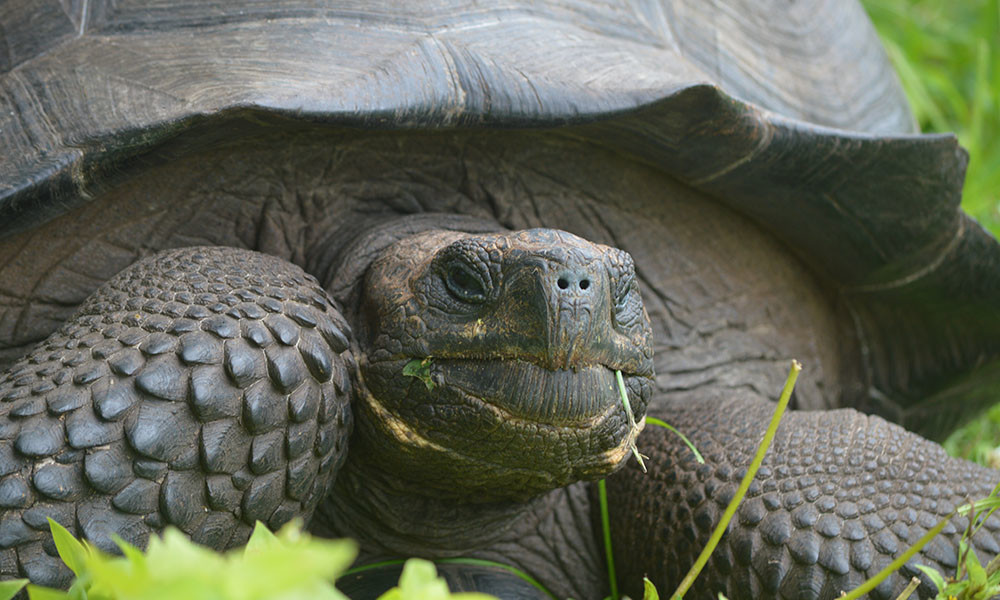 Blog, Eastern Santa Cruz tortoise © Washington Tapia